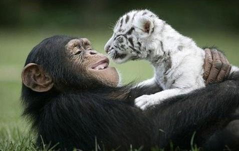 gaianet_macaco-e-tigre